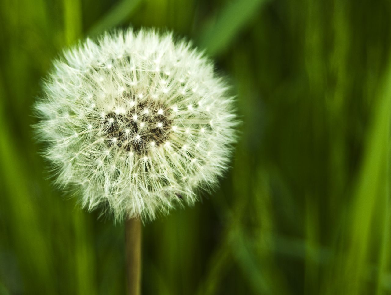an information on dandelion Get information, facts, and pictures about dandelion at encyclopediacom make research projects and school reports about dandelion easy with credible articles from our free, online encyclopedia and dictionary.